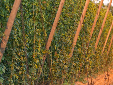 Hops Conference To Feature New Harvester Prototype Trellis
