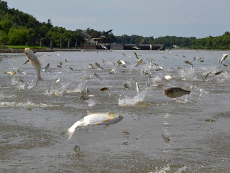 Media advisory asian carp in the ohio river that and for Ohio river fish