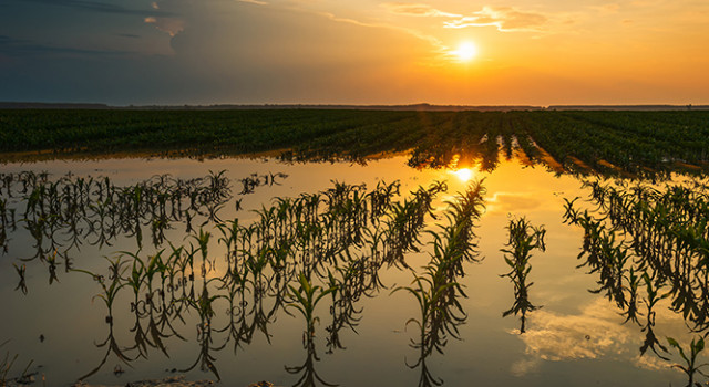 Flooded corn field with damaged crops