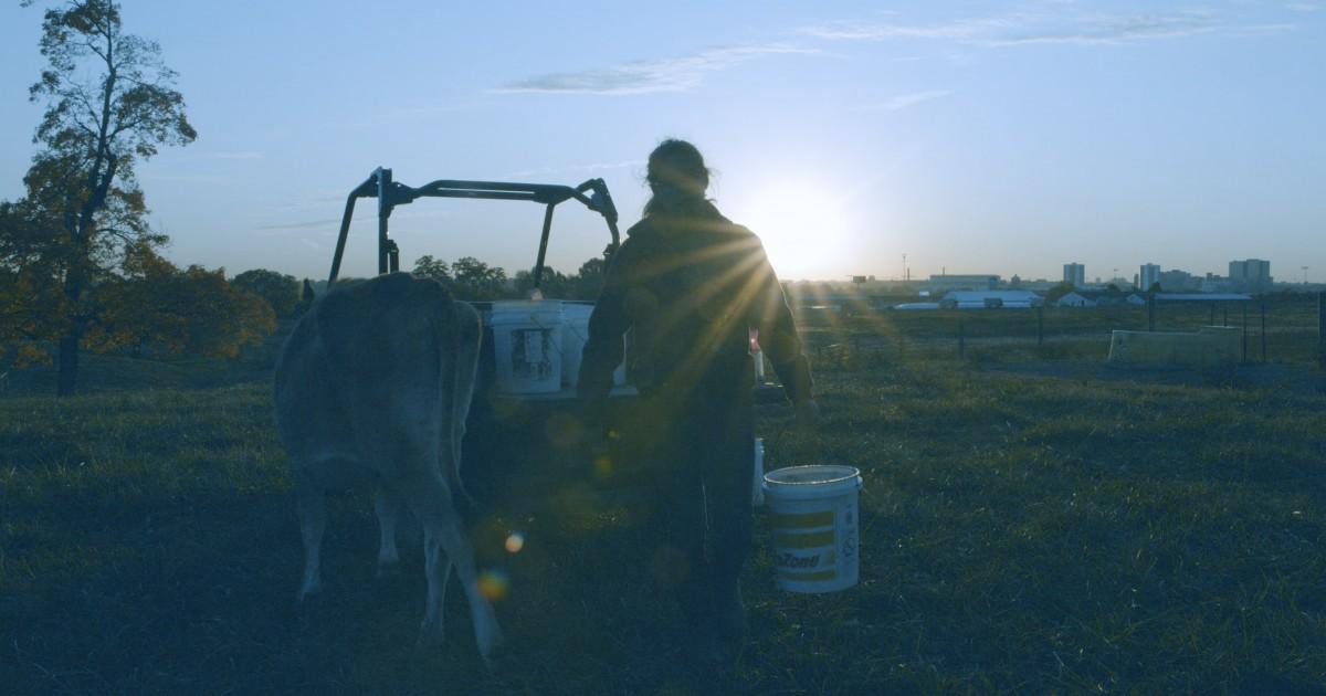 Sunrise photo of student feeding dairy cattle at Waterman.