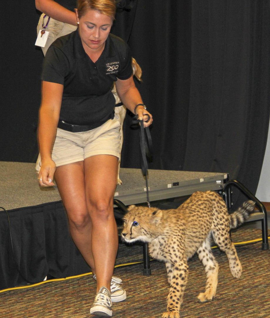 A Columbus Zoo cheetah greets guests at CHAIRE's first annual fundraiser.