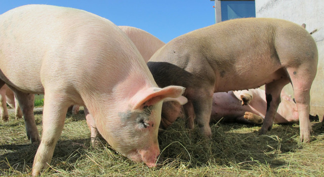 Pigs on a sunny day