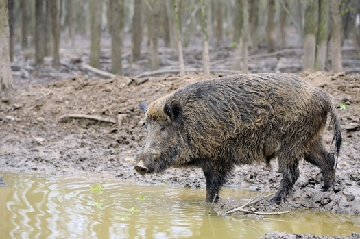feral swine wallow in water and mud as a natural behavior in part to cool off in warm weather but wallowing can erode soils reduce water quality