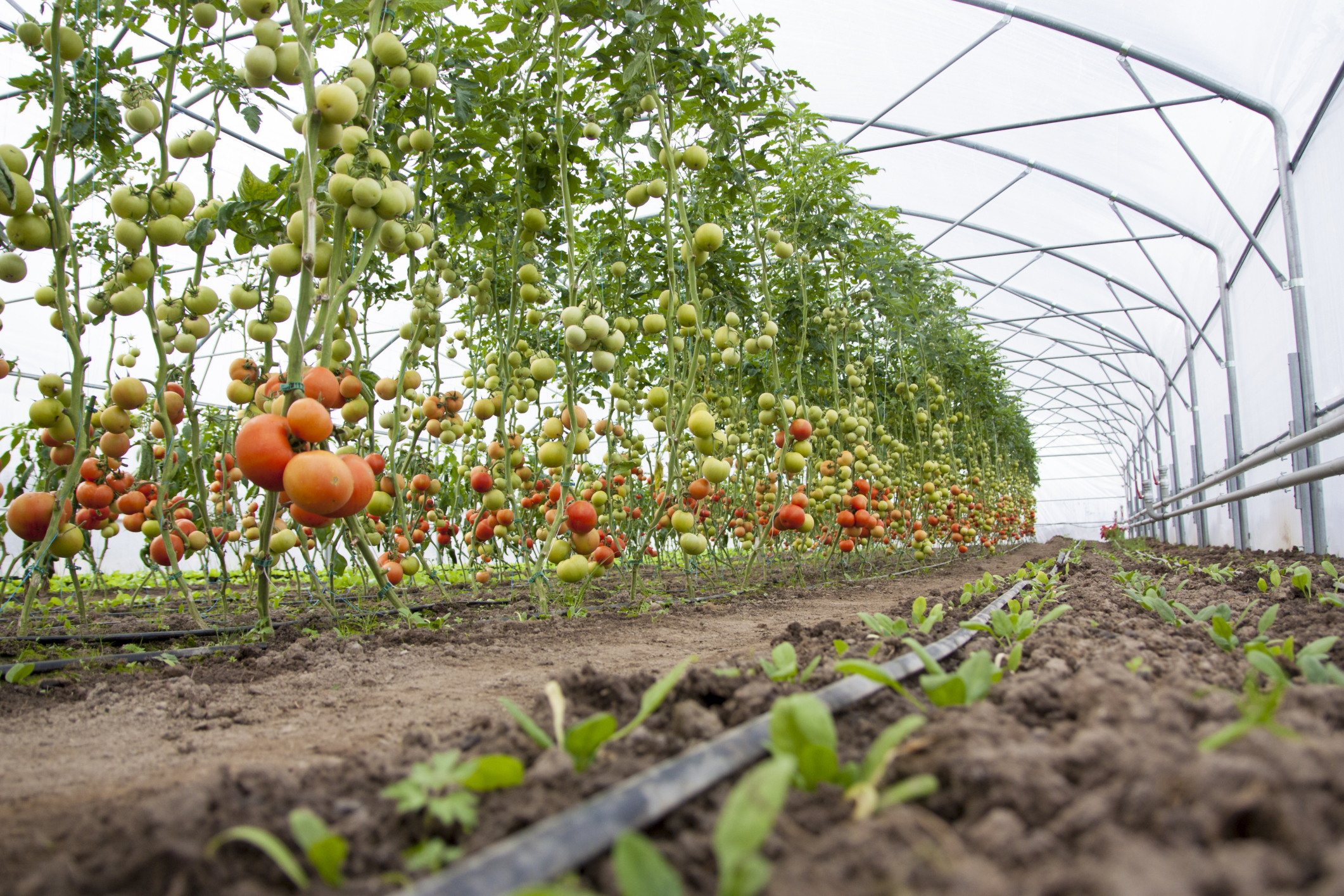 horticulture in india The topic mentions about indian floriculture industry skip to content | skip to navigation english in the horticulture/floriculture departments of state agricultural universities and under the all india coordinated floriculture improvement project with a network of about.