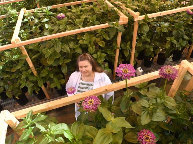 CFAES professor Michelle Jones studies bacteria that help flowering plants flourish after leaving the greenhouse.