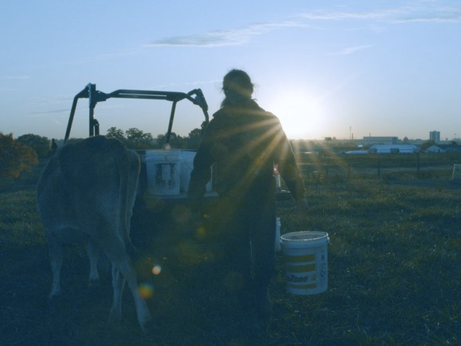 Sunrise photo of student feeding dairy cattle at Waterman.