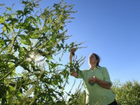 GAINING ON OHIO'S GIANT RAGWEED