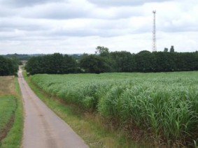 Miscanthus is one of the bioenergy crops that will be discussed during the workshop.