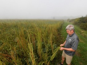 Mark Loux, an OSU Extension weed specialist, in a field overrun with Palmer amaranth. (Photo: Ken Chamberlain, CFAES)