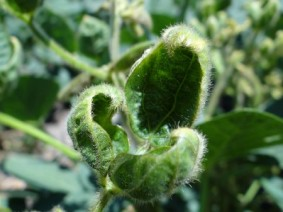 Cupped leaves can be a sign of soybeans harmed by dicamba, a weed killer and source of complaints in several states, including Ohio.  (Photo: Flickr)