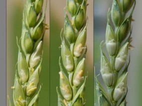 Anthesis vs. early grain-fill: from left to right: flowering; two days after flowering and five days after flowering.