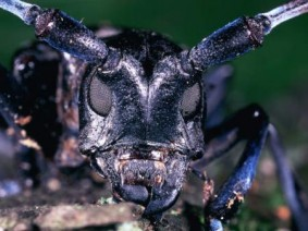 Asian longhorned beetle, a Great Lakes-area invasive species