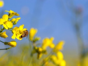 The impact of field crops on bees can be both negative and positive, according to new research. (Photo: Thinkstock)