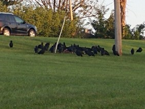 Black vultures spotted near S.R. 37 in Lancaster, Ohio, in October 2016. Photo: OSU Extension.