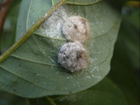 Cocoon Of Alfalfa Weevil. Photo: Thinkstock.