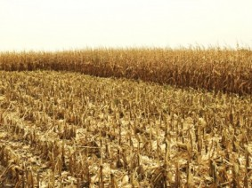 Corn field after harvest. (Photo: Thinkstock)