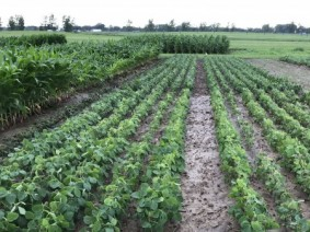 Plots of soybeans and corn have been planted for Farm Science Review to test the effects of nutrient management, cover crops, herbicide technology and precision crop management.