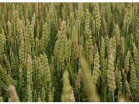 Fusarium Head Blight of Wheat
