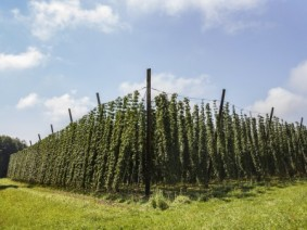 Hops plants (Photo: Thinkstock)