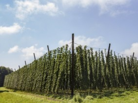 Hops plantation. Photo: Thinkstock