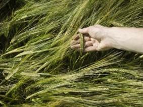 Malting barley. (Thinkstock)