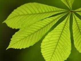 Ohio buckeye leaves