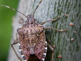 Stink bugs are being studied by researchers at CFAES who are examining the damage the bugs do and how to best manage them.