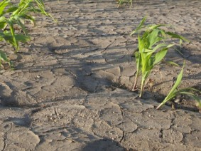 The deluge of rain in April and early May led to some crusting over of cornfields and abnormal growth, which is leading many farmers to replant.