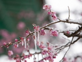 Icicles on new plum tree blooms.