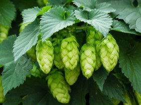 Attendees to the June 15 Hops Field Day at OSU South Ceners in Piketon can tour a hops yard and learn about hops production.