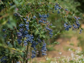 Blueberries. Photo: Thinkstock.