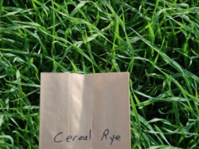Cereal rye is a popular cover crop. (Photo: OSU Extension)