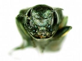 Closeup of emerald ash borer
