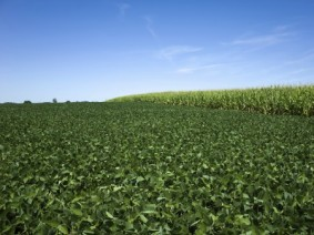 Corn and soybeans. (Photo: Thinkstock)