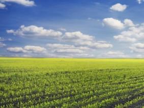 Corn crops. Photo: Thinkstock.