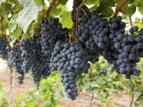 Ohio has 1,900 acres producing grapes and 175 wineries. (Thinkstock photo)