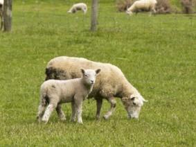 Grazing sheep with lamb. Photo: Thinkstock.