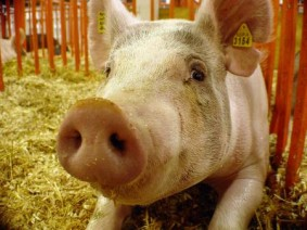 Pigs are a common sight at agricultural fairs taking place in Ohio and around the country this summer and autumn.