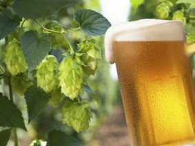 Hops cones for beer production. (Photo:Thinkstock)