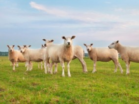 Image of sheep on pasture