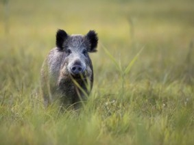 Image of feral swine in field