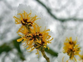 Witch-hazel in snow