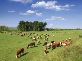 Grazing livestock. Photo: Thinkstock.