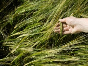 Malting barley. Photo: Thinkstock