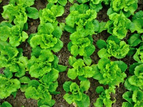 Growing fresh lettuce, radishes, onions and more on high organic soils is the focus of Muck Crops Field Day. Photo: Thinkstock