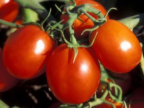 Processing Tomatoes