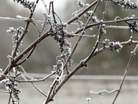 Frozen vineyard. (Photo: Thinkstock)