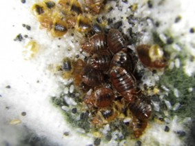A close-up look at adult bed bugs, their eggs and fecal spotting. Photo: CFAES