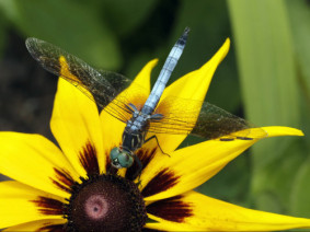 A blue dasher dragonfly.