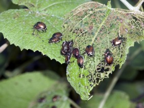 Outbreaks of Japanese beetles occurred in various parts of Ohio this summer, according to an OSU Extension entomologist. (Photo: Getty Images)